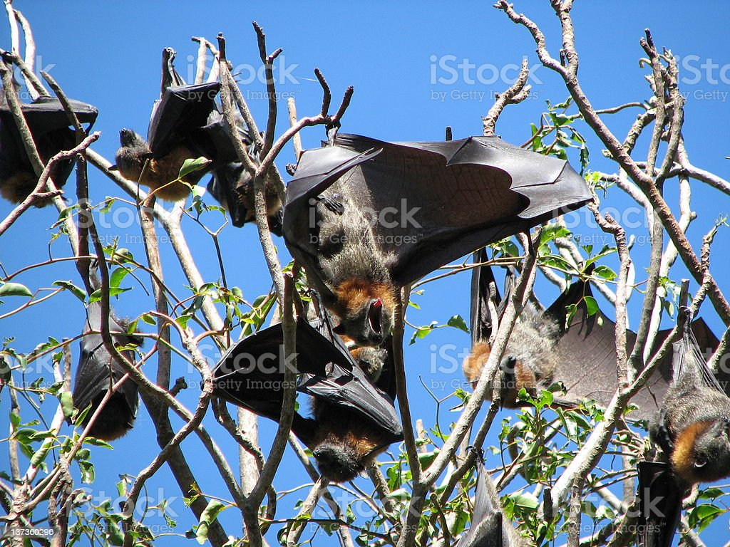 Flying Foxes in Sydney's Botanical Gardens royalty-free stock photo