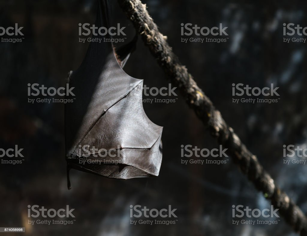 flying foxes in the wild stock photo