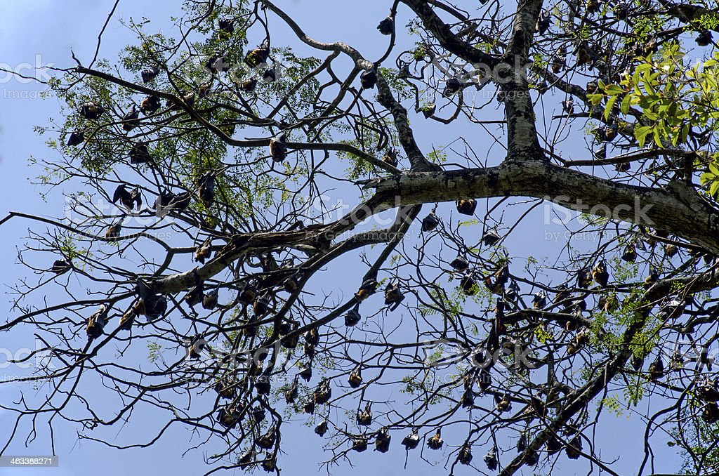 Flying foxes on the tree stock photo
