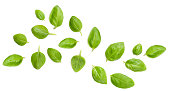 Flying Fresh basil herb leaves isolated on white background. Top view. Flat lay.