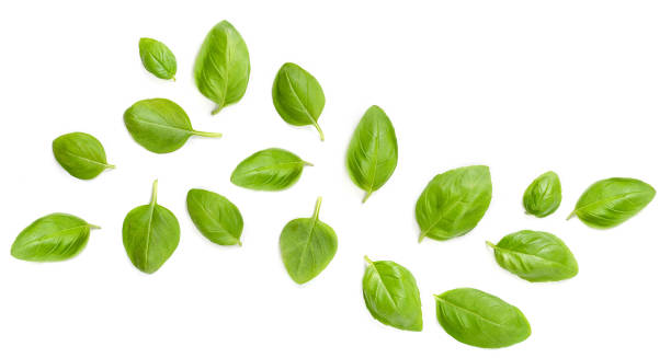 Flying Fresh basil herb leaves isolated on white background. Top view. Flat lay. Flying Fresh basil herb leaves isolated on white background. Top view. Flat lay. basil stock pictures, royalty-free photos & images