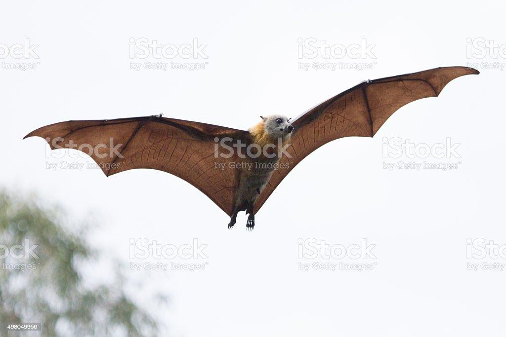 Flying Fruit Bat stock photo