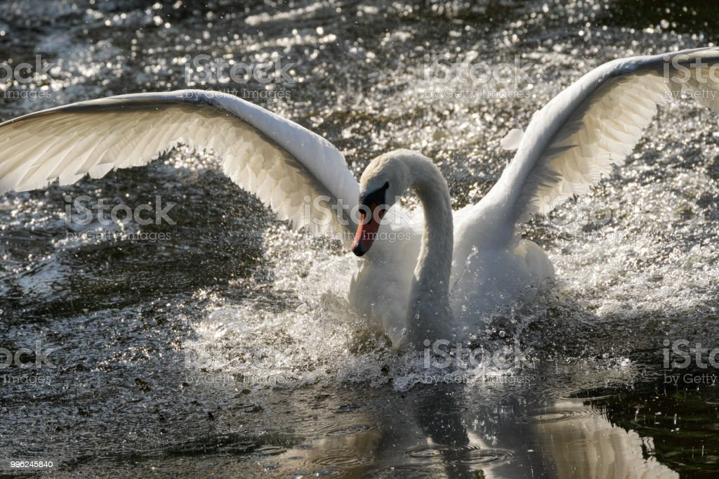 Flying fury mute swan aggression landing in water stock photo