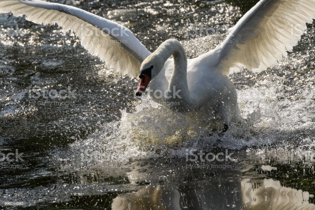 Flying fury mute swan aggression wild goose chase stock photo