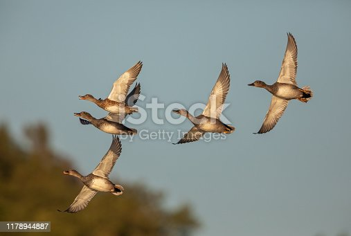 Five flying gadwalls (Mareca strepera) in the evening sun against a blue sky.