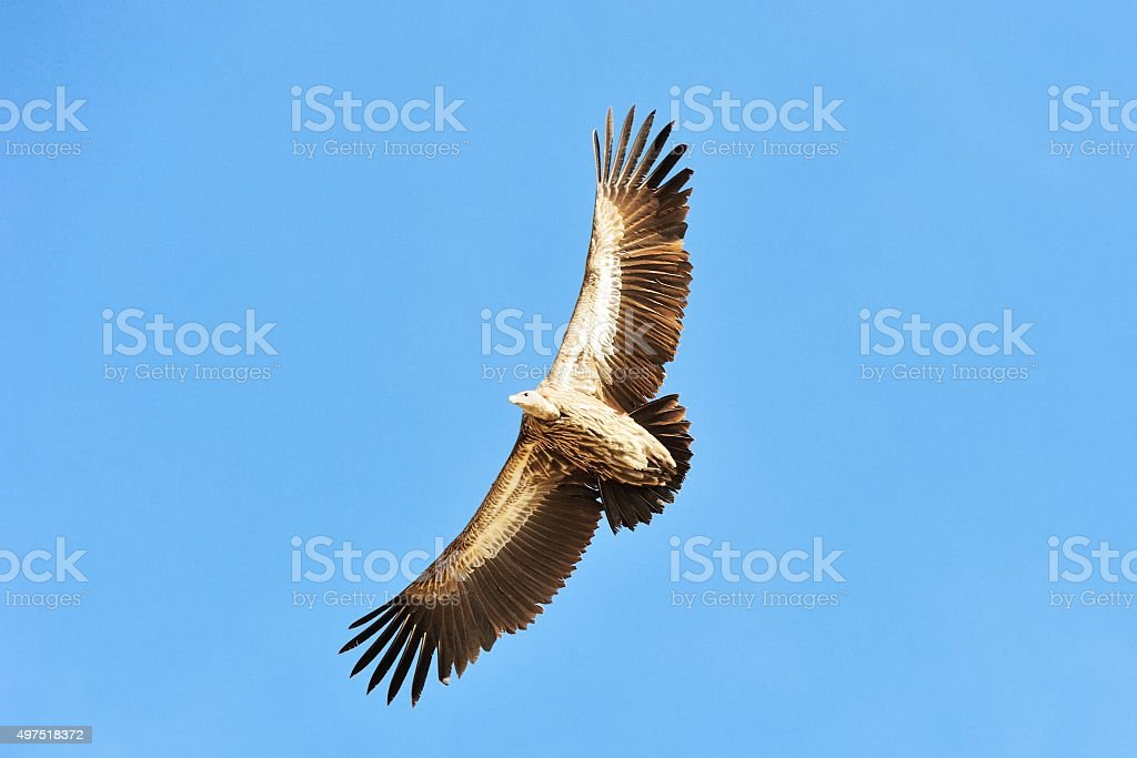 Flying Golden eagle above the Ruoergai Prairie 03 stock photo