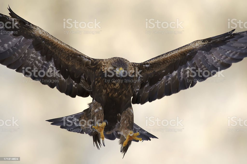 Volare Golden Eagle - foto stock