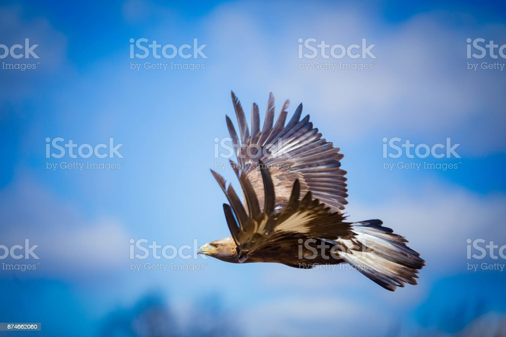 Flying Golden Eagle - foto stock