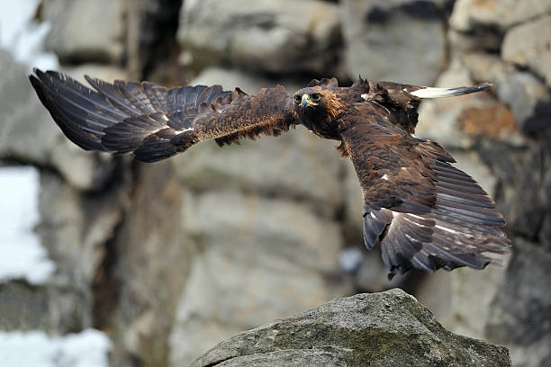 Flying Golden eagle with rock in background stock photo