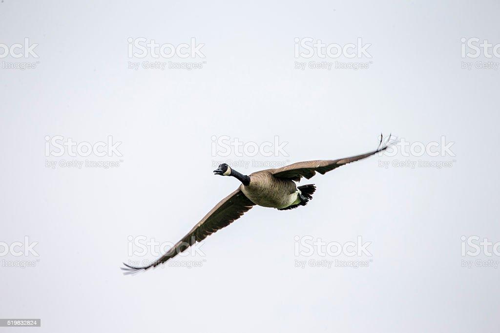 Flying Goose at Point Reyes National Seashore, California stock photo