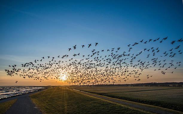 Flying goose stock photo