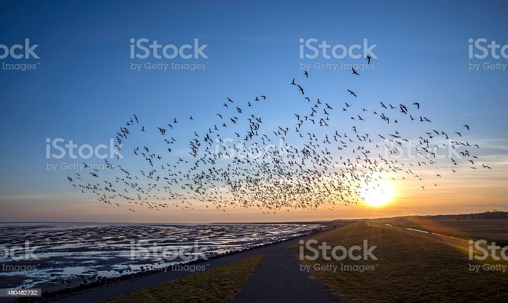 Flying goose stock photo