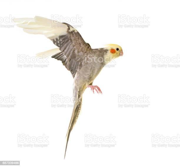 Flying gray cockatiel picture id657339486?b=1&k=6&m=657339486&s=612x612&h=3bhg0u5dmwpwjxufgpmg51sdcmk2frwxvtwa0rbodqw=
