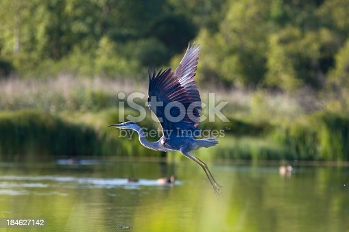 Flying  Great Blue Heron.