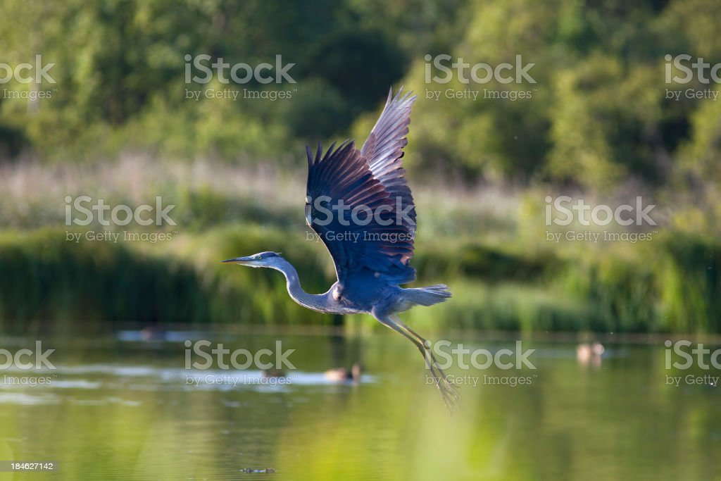 Flying  Great Blue Heron. stock photo