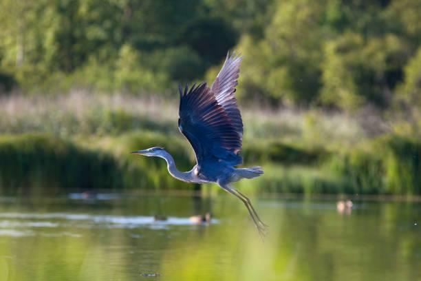 flying  great blue heron. - balıkçıl stok fotoğraflar ve resimler