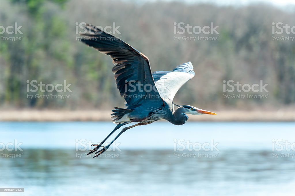 Flying Great Blue Heron stock photo