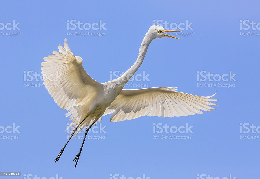 Flying Great Egret stock photo