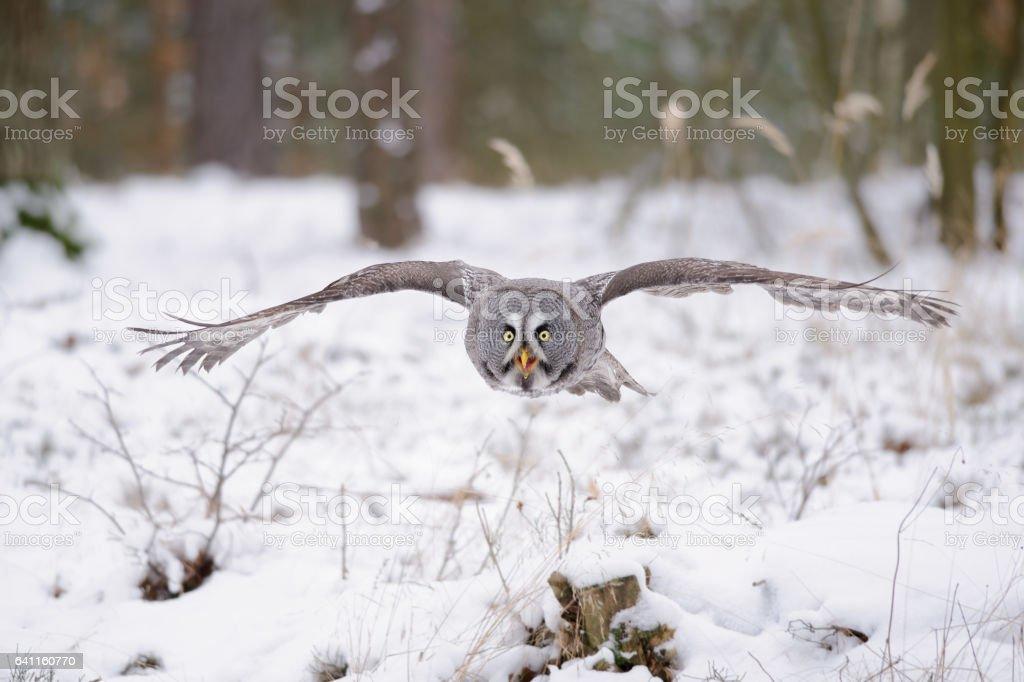 Fliegende Bartkauz im winter – Foto