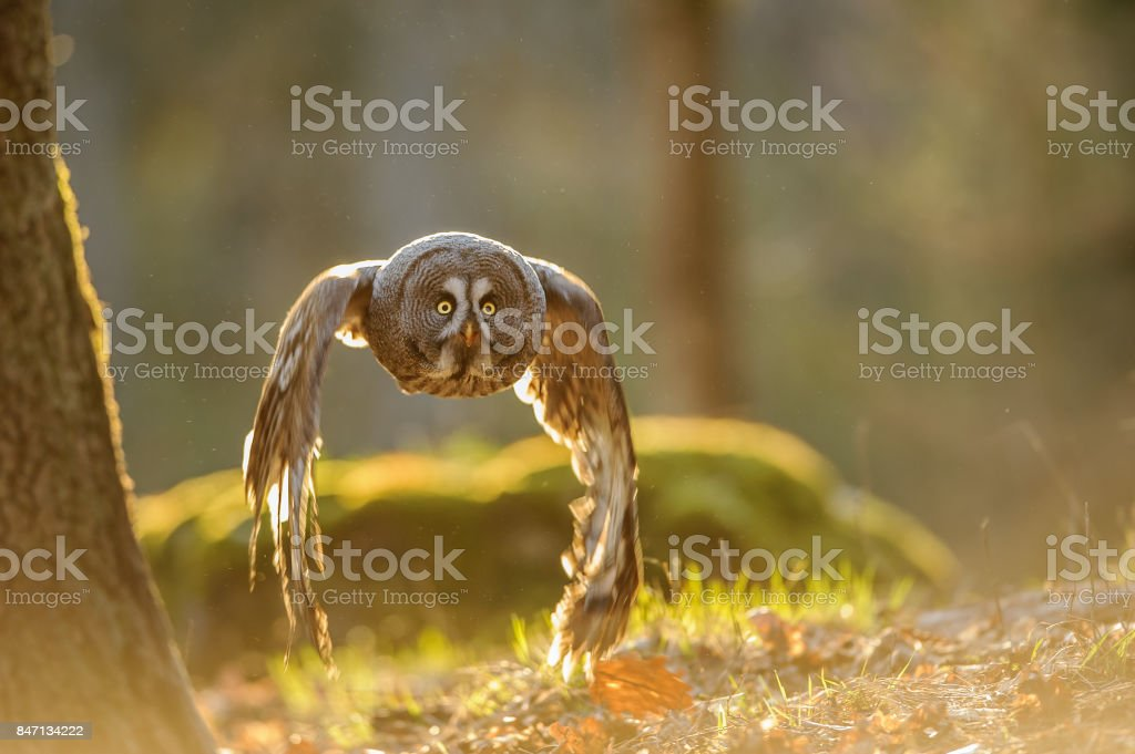 Flying great grey owl with backlight stock photo