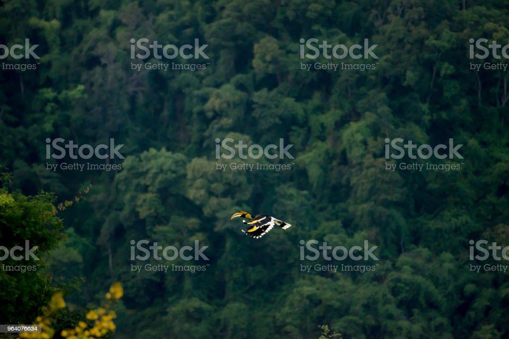 Flying great hornbill at Khao Yai national park, THAILAND - Royalty-free Animal Stock Photo