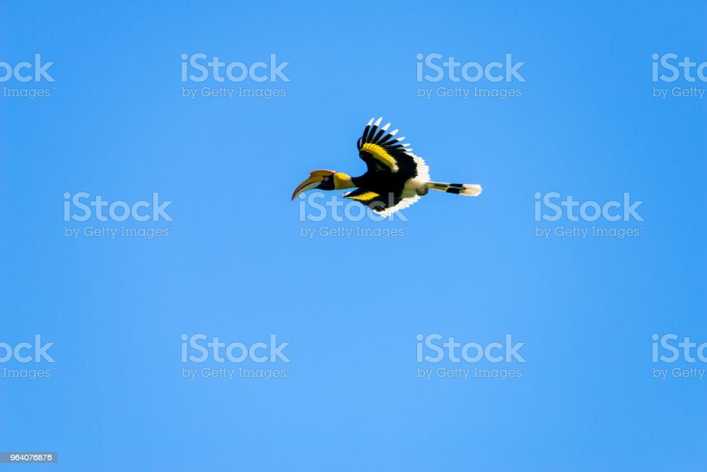 Flying great hornbill at Khao Yai national park, THAILAND - Royalty-free Animal Stock Photo