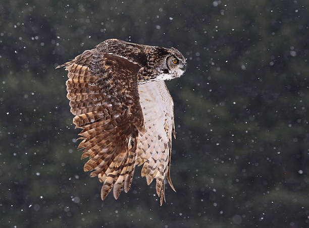 flying great horned owl - amerikaanse oehoe stockfoto's en -beelden