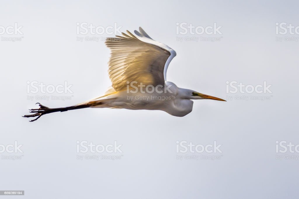 Flying Great or Common egret stock photo