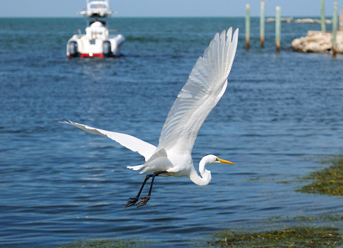 Flying Great White Egret With The Harbor Of Marathon Key Florida In The Background On A Sunny Autumn Day