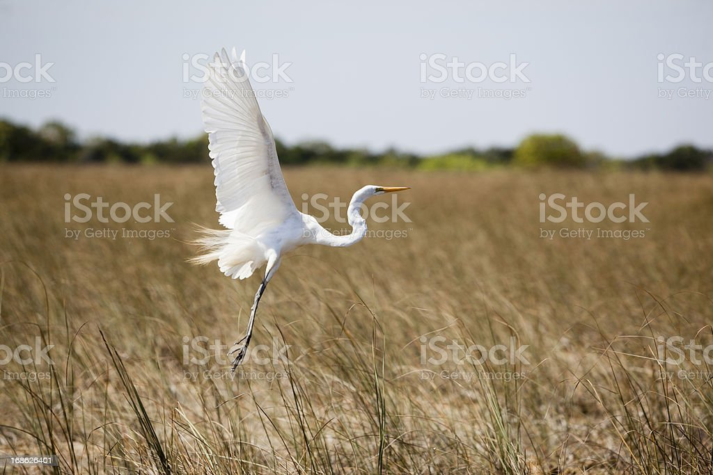 Flying Great white heron royalty-free stock photo