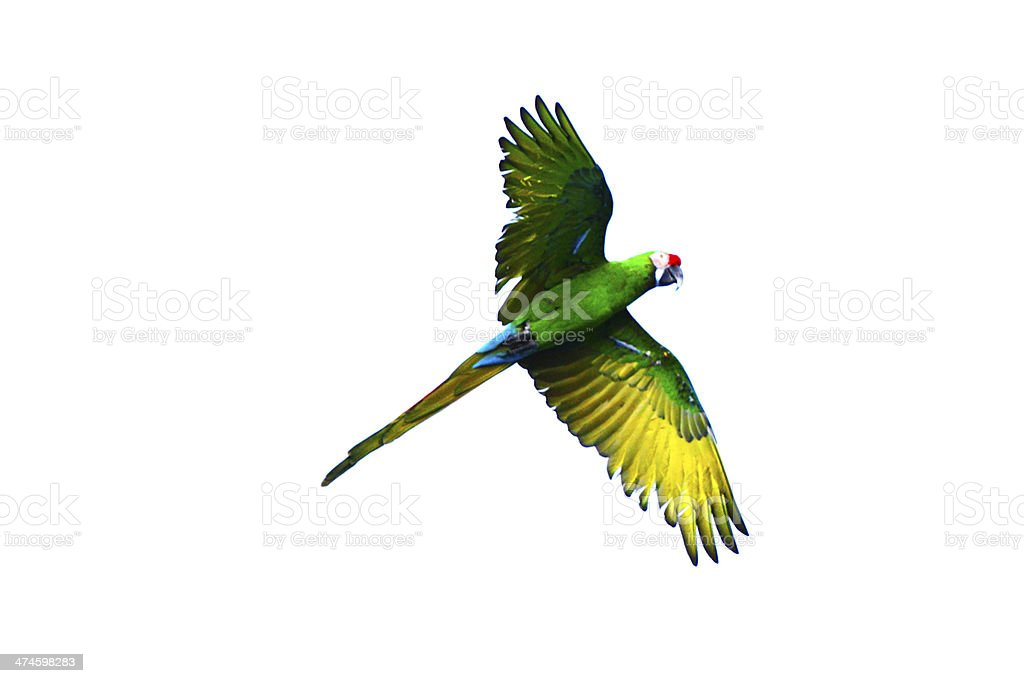 Flying green parrot stock photo