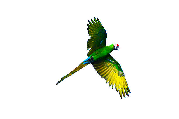 flying green parrot - green winged macaw stock photos and pictures