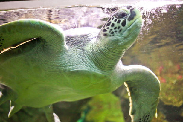 Flying green turtle. Flying green turtle. alas stock pictures, royalty-free photos & images