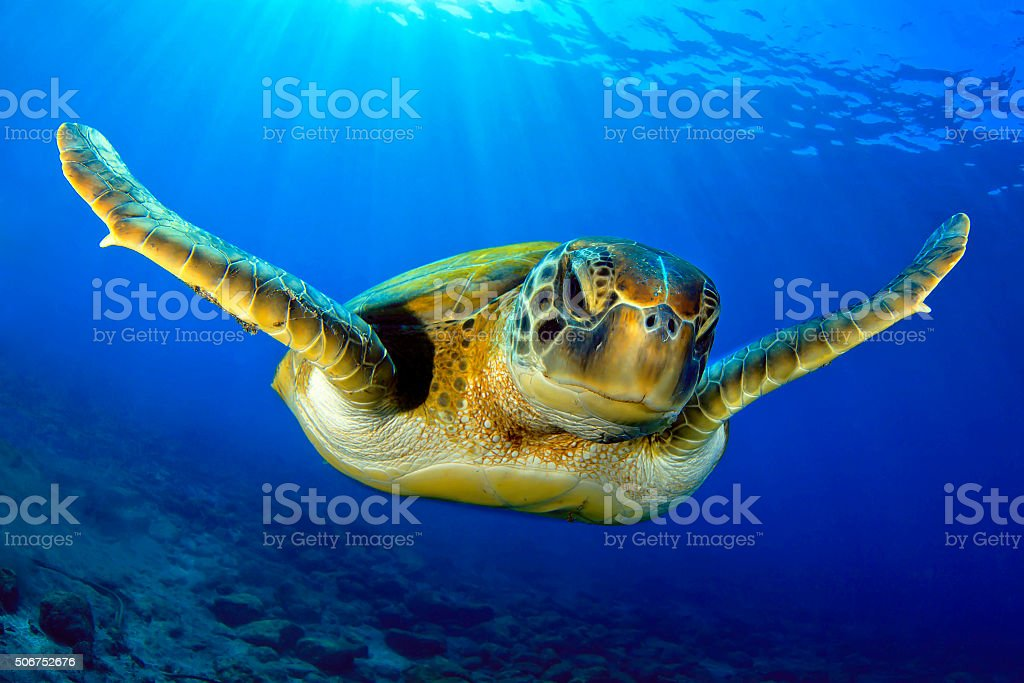 Flying green turtle stock photo