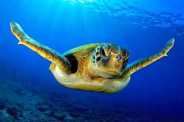 Flying green turtle stock photo