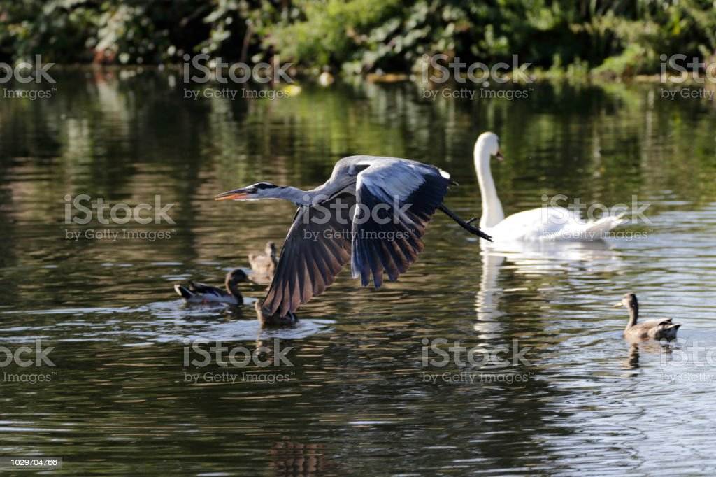 Flying grey heron low over water Mitcham Pond stock photo
