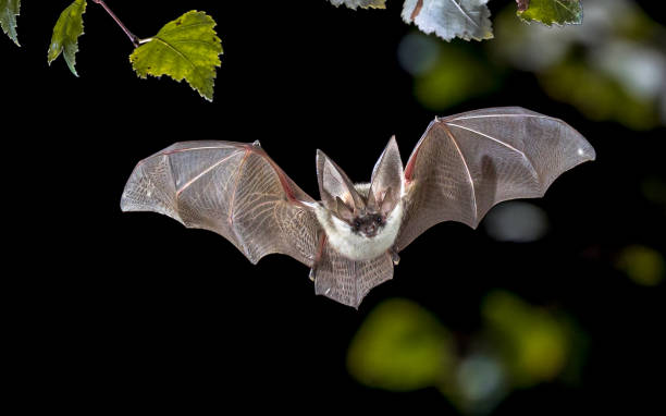 Flying Grey long eared bat in forest stock photo