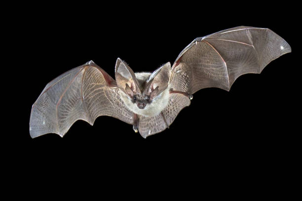 Flying Grey long eared bat stock photo