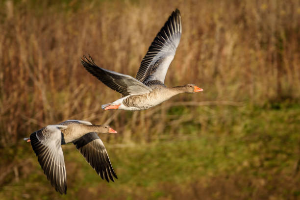 Flying greylag goose A greylag goose's in fligh bird hunting stock pictures, royalty-free photos & images