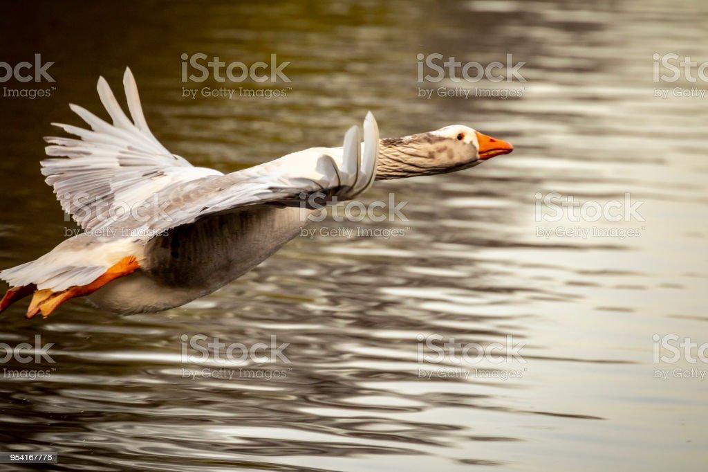 Grey-Lag Goose fliegen – Foto