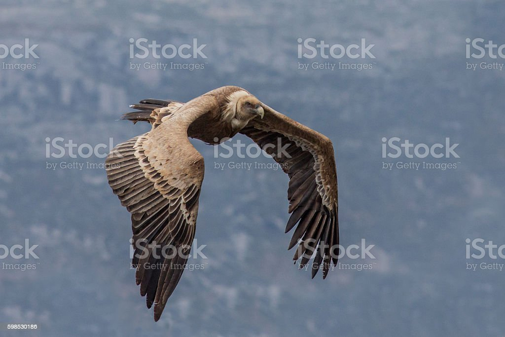 Flying Griffin (Gyps fulvus), Verdon Gorge, France stock photo