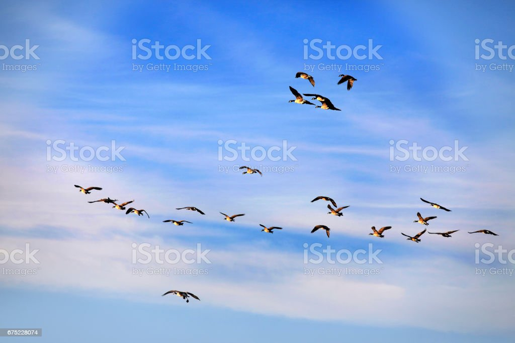 Flying group of geese against a blue sky royalty-free stock photo