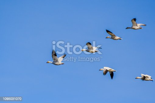 A flying group of Snow Geese (Chen caerulescens); blue sky background; the Sacramento National Wildlife Refuge, California