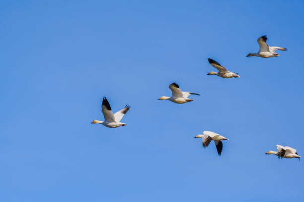 A flying group of Snow Geese (Chen caerulescens); blue sky background A flying group of Snow Geese (Chen caerulescens); blue sky background; the Sacramento National Wildlife Refuge, California snow goose stock pictures, royalty-free photos & images