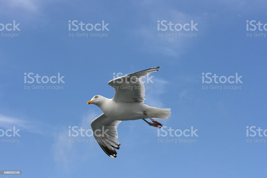 flying gull  (Larus argentatus) royalty-free stock photo