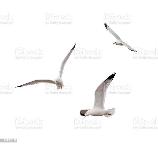 Photo of Flying Gulls