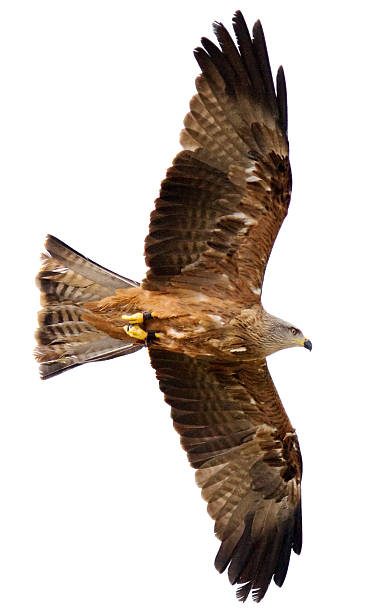 flying hawk on white background - falcon bird stock photos and pictures