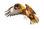 Isolated Hawk. Flying bird. Bird of prey. White background.