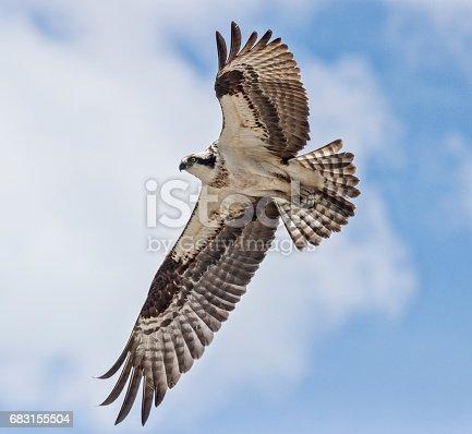 An Osprey in flight. Taken in Canmore, Alberta