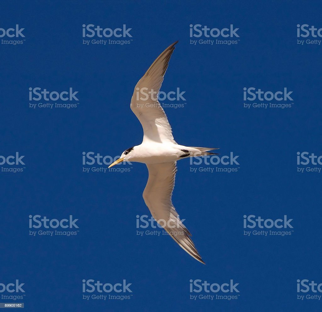 Flying high - Crested Tern. royalty-free stock photo